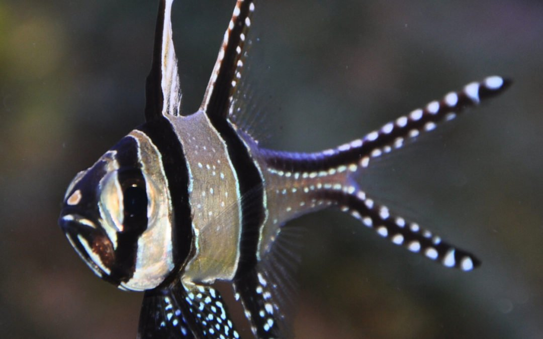 Banggai Cardinalfish – Is this the Fabulous Reef Safe Fish you have been looking for in your reef tank?