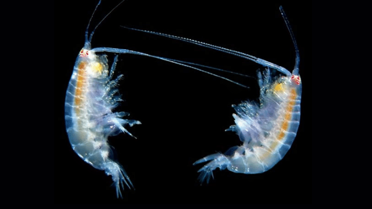 New Copepod Shipment? Follow This Guide to Acclimatize Them Successfully!