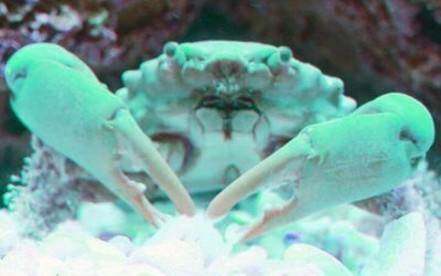 Emerald Crabs: 5 Reasons You Need Them in Your Saltwater Aquarium