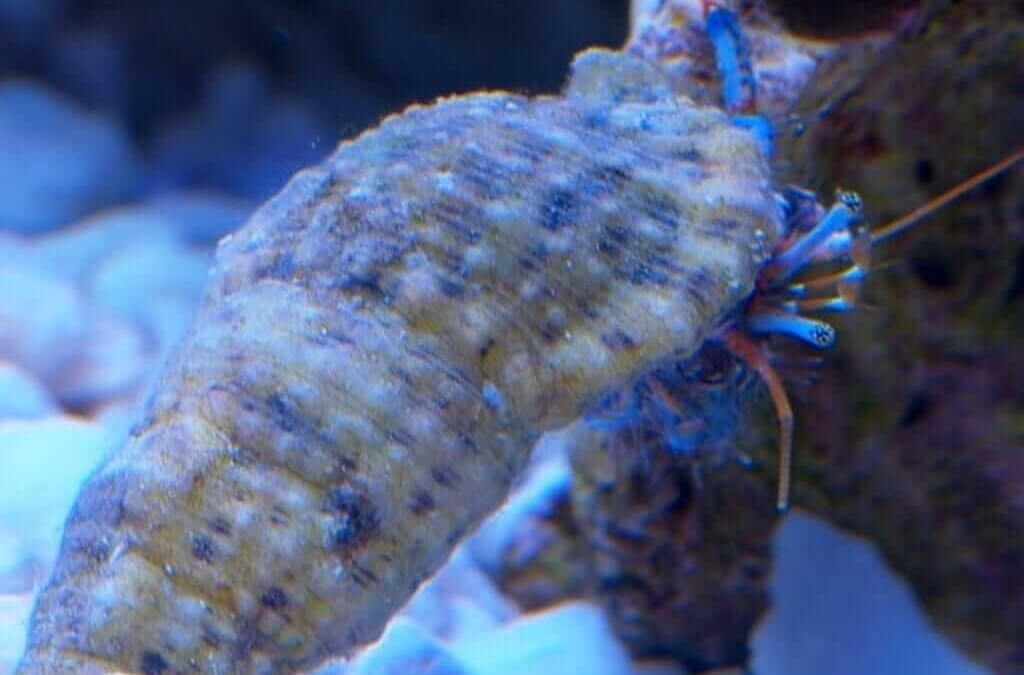 Blue Leg Hermit Crab: Control Algae in Style With These Adorable Crustaceans