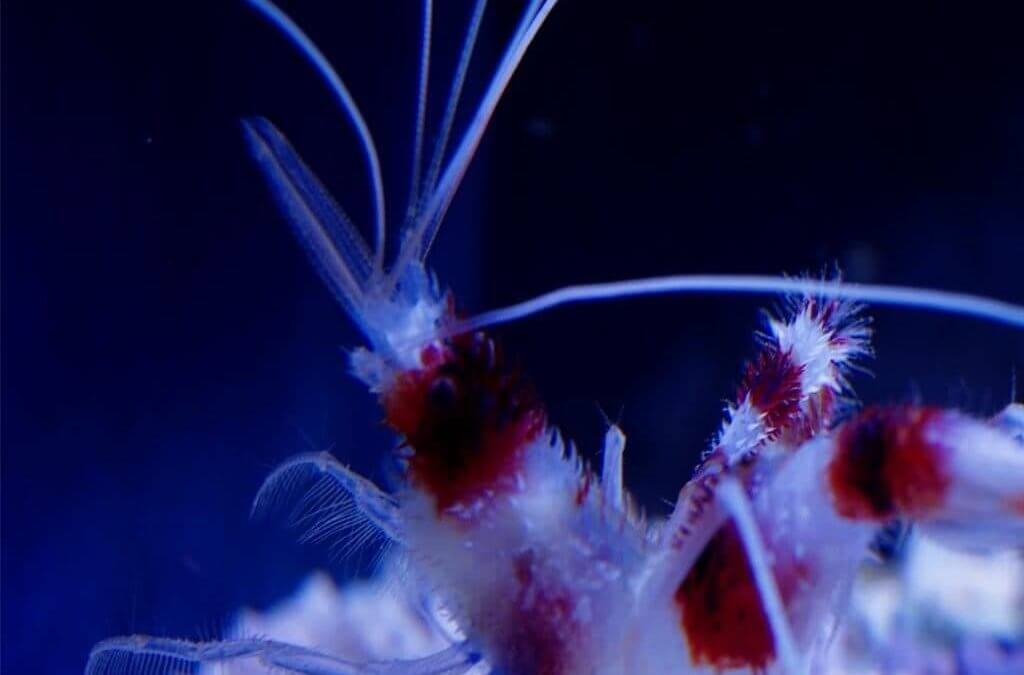 Coral Banded Shrimp: Monogamous Decapod with Incredible Mating and Feeding Displays