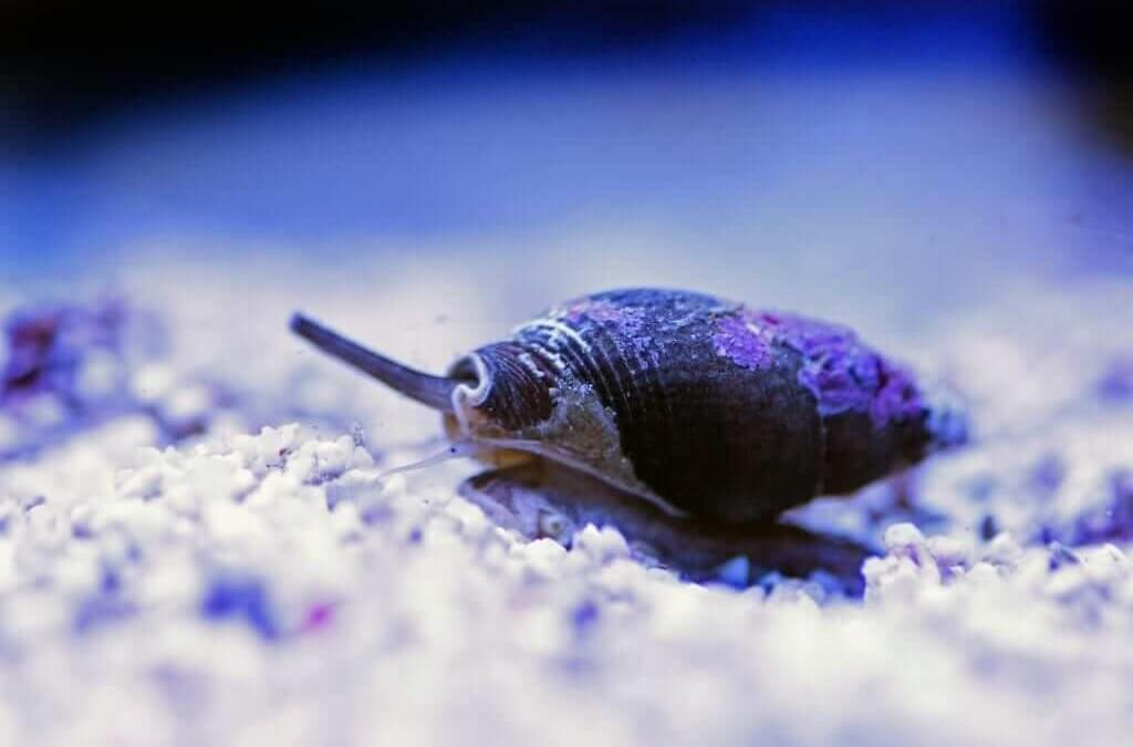 Nassarius Vibex Snail: Food Obsessed Mollusc That Will Keep Your Tank Clean