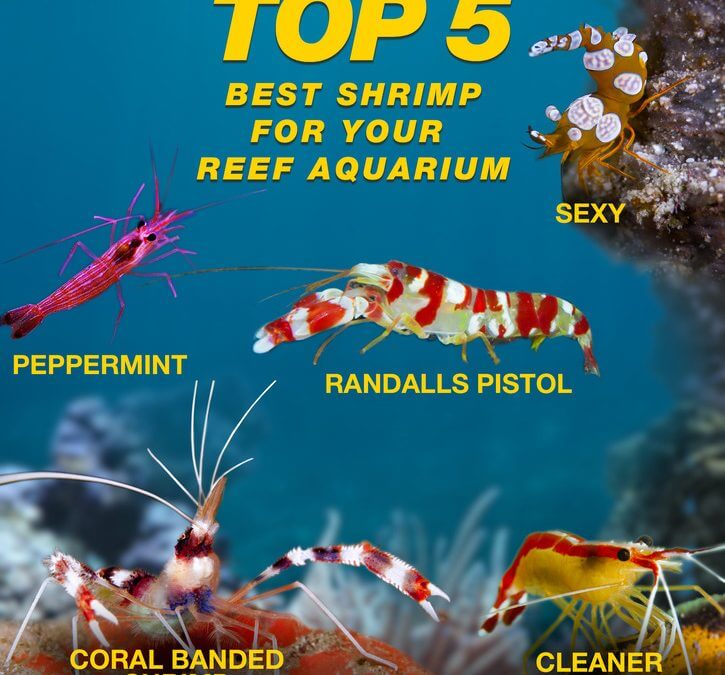 Top 5 Best Shrimp for Your Saltwater Aquarium
