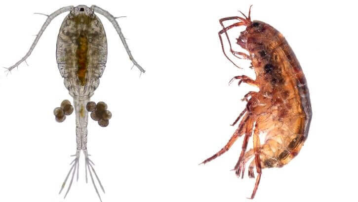 5 Reasons Why Copepods and Amphipods Are The Best Fish Feed