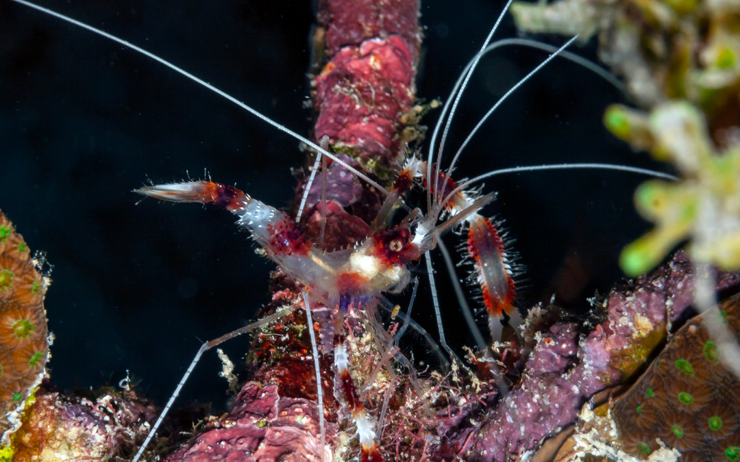 The Secret Life Of Shrimps, Featuring The Coral Banded Shrimp
