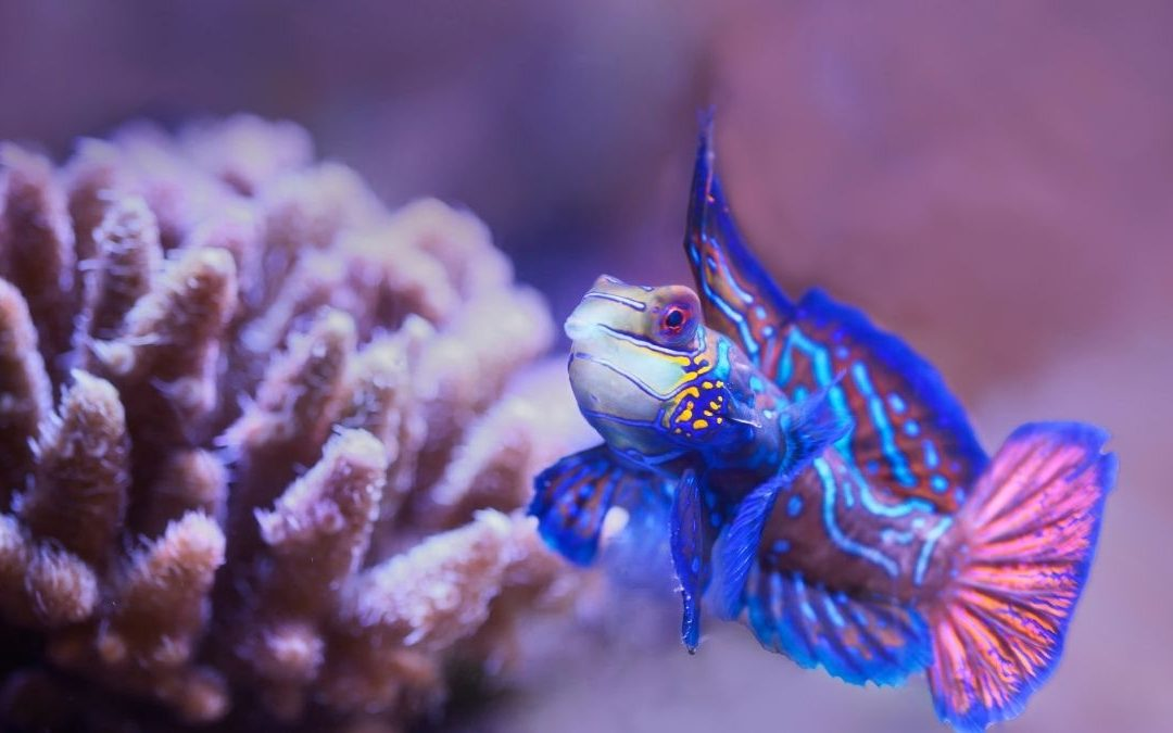 Species Feature: Introducing the Wonderful Mandarin Fish