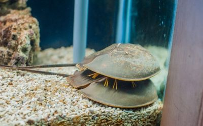 The Horseshoe Crab: A Living Fossil For Your Saltwater Aquarium
