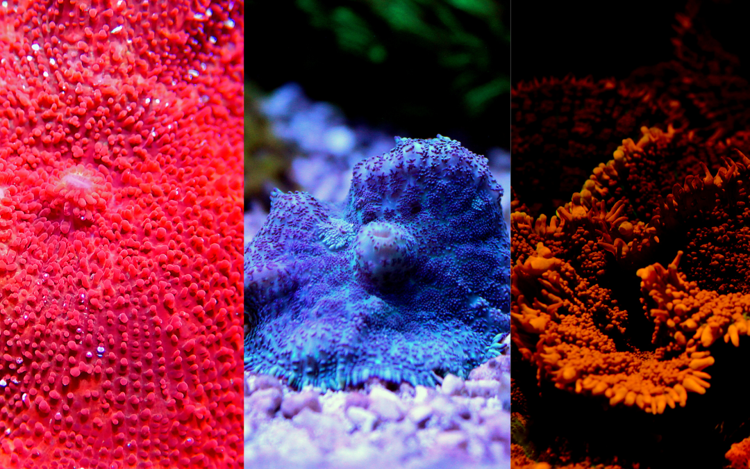 Mushroom Corals – More Intriguing Than They Sound