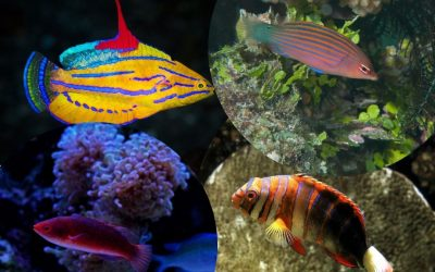 Five Most Beautiful Wrasse For Your Saltwater Aquarium