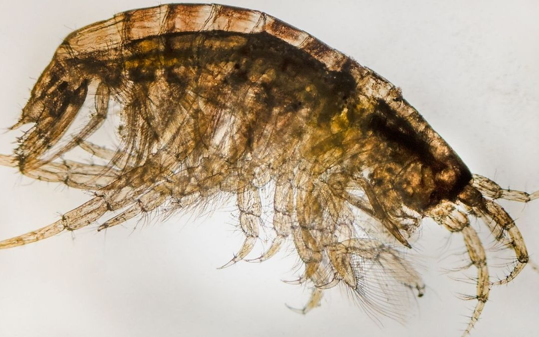 Myth Busted: Why Amphipods Are A Great Food Source For Corals